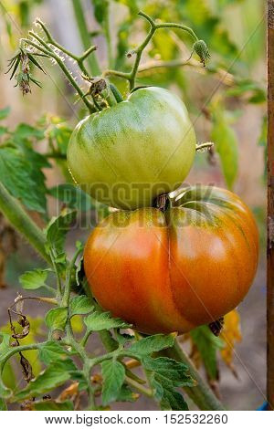 Ripe Tomatoes Growing On The Branches - Cultivated In The Garden..