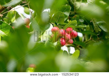 It is Karonda Fruit in the garden, Thailand