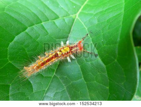 Closed up little orange caterpillar walking on bright green leaf
