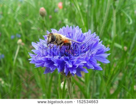 Close-up of a bee collecting nectar of the bright purple cornflower in green field