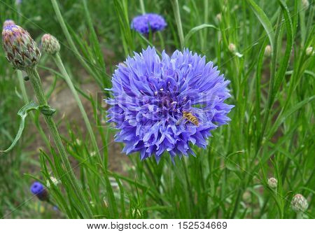 Bee collecting nectar of the vivid purple cornflower in a green field