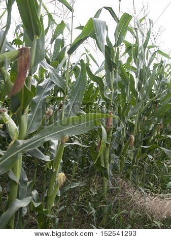 Picture of the field with  the maize