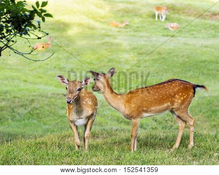 A young deer hind is looking around.