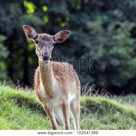 Hungry deer hind is looking at something.
