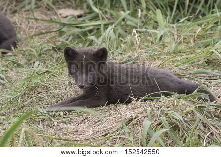 Puppy Commanders blue arctic fox that lies near the burrows