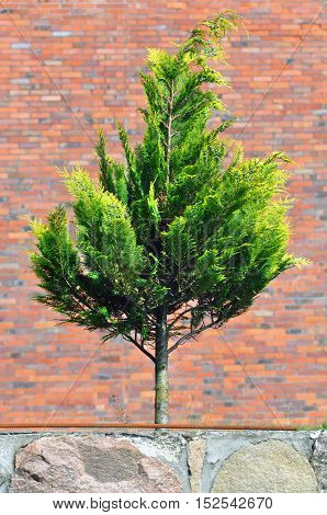 Green conifer. Dwarf thuja on a background of red brick wall. Selective focus.
