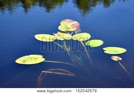 Green water lilies on the water river surface.