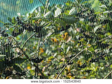 Protected chokeberry plant with a plastic net.