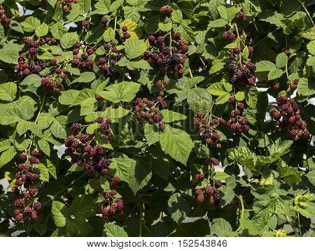 Group of black berry fruit in the garden.