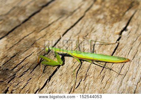 Praying mantis (Mantis religiosa) on the wooden background