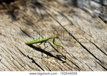 Praying mantis (Mantis religiosa) on the wooden background