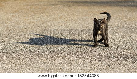 Small cat with a big shadow silhouette by side.