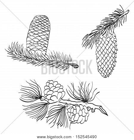 Hand Drawn Pine cones and Larch. Sketch Pine cones isolated on White. Vector Illustration.