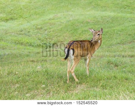 Young deer hind looking around for danger.