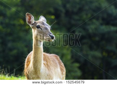 Young deer in nature on alert and listening.