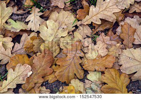 orange autumn oak leaves lying on the ground