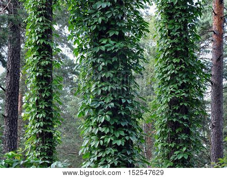 The trunks of pines covered with curly green ivy in forest.