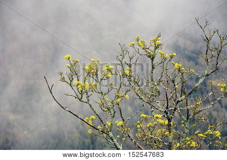 The branches of a blooming tree with bright green leaves covered with moss on the background of the misty landscape.