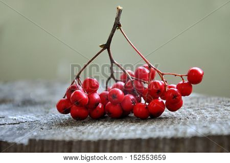Bunch of berries of red mountain ash on a wooden surface closeup. Side view.