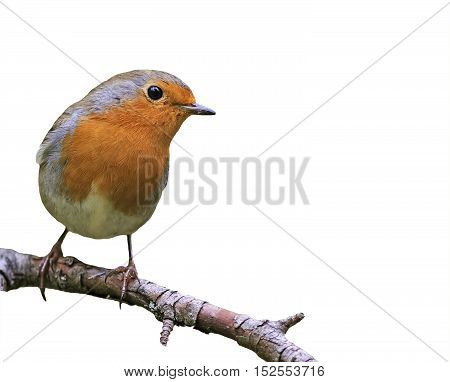 little songbird red Robin on white isolated background