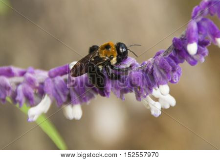 A Bumblebee gather nectar from a flower in a park in Wilmington North Carolina