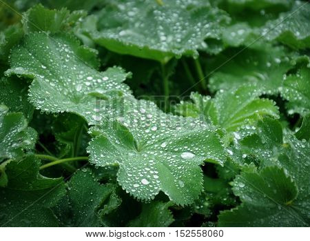 Green leaves of plants with large dew drops close-up.