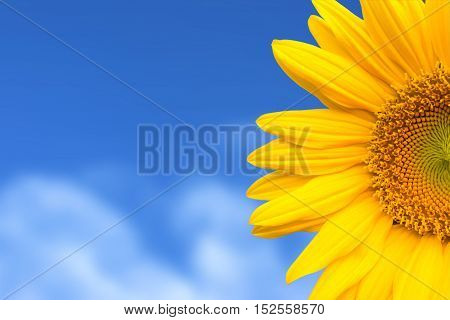 yellow sunflower on blue sky background, beautiful sunflower