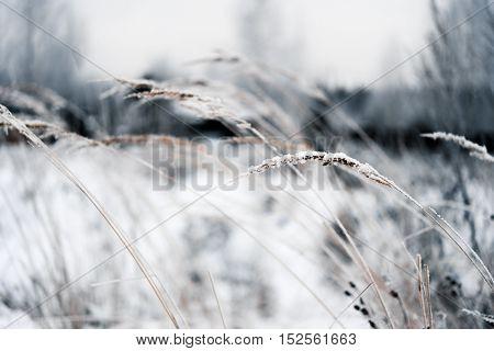 Dry grass in hoarfrost on a snowy field, toned