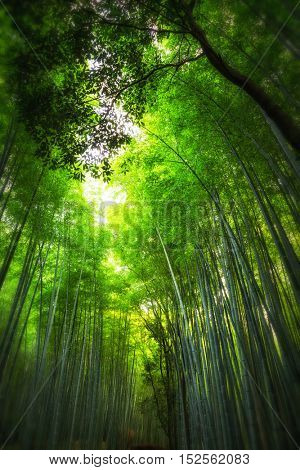 Sunlight in the bamboo grove in Arashiyama, Kyoto, Japan