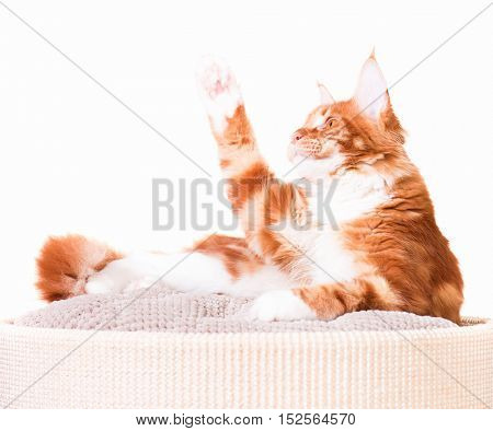 Portrait of domestic red Maine Coon kitten - 6,5 months old. Cat isolated on white background.