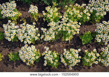 Small decorative daisies growing on the brown earth view from above.