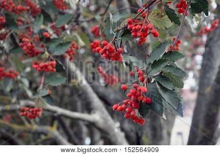 Berries of a red mountain ash berry in autumn close up on a tree. Selective focus.