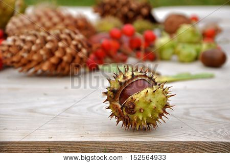 Two mature chestnuts with thorns on a wooden surface. Pine cones and ash berry on the background.