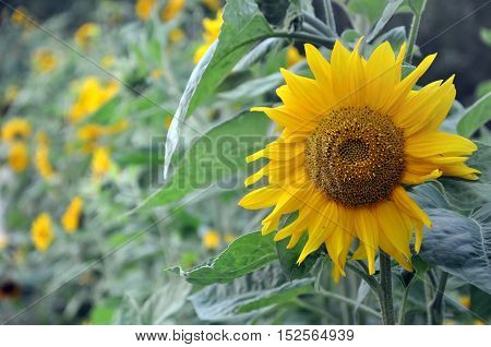Many yellow sunflowers in perspective. One flower closeup. Floral summer background.