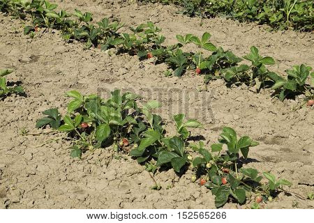 The Bed Of Strawberries In The Garden. Strawberry Blossoms And Bears Fruit