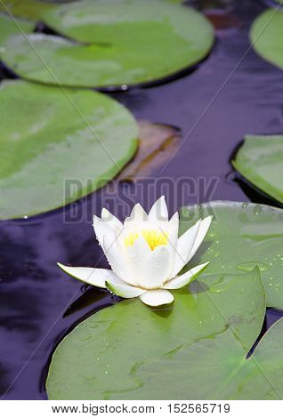 Nice white water lily flower in lake