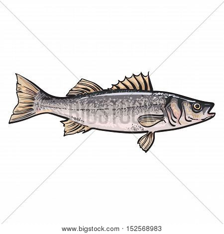 Hand drawn seabass, sketch style vector illustration isolated on white background. Colorful realistic drawing of a seabass, edible marine fish