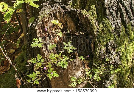 Rotten tree trunk with moss in autumn forest closeup