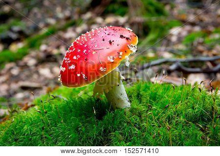 Nice fly agaric mushroom on green moss