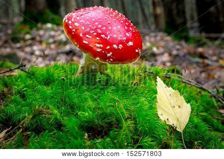 Nice fly agaric mushroom in autumn forest