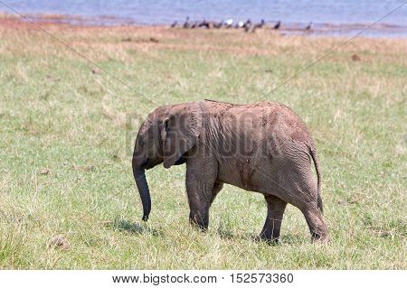 Baby Elephant Calf standing on the lush plains in Bumi National park