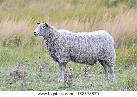 Domestic white sheep with vegetation in the background