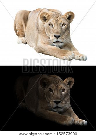 Female Lion In The Dark And White Background
