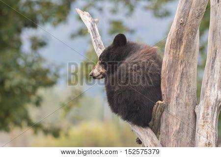a cute black bear cub in a dead tree