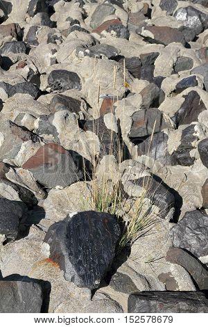European beach grass grow between stones of a shoreline stabilization - Selected focus narrow depth of field