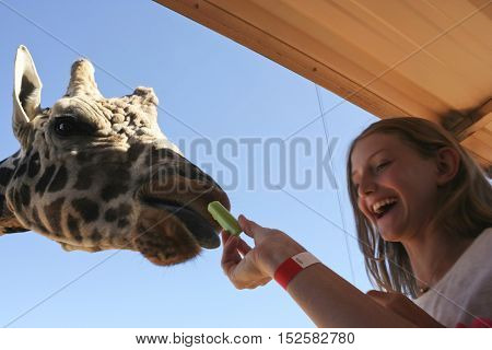 CAMP VERDE, ARIZONA - OCTOBER 13: The Out of Africa Wildlife Park on October 13, 2016, near Camp Verde, Arizona. A woman feeds a giraffe celery from her hand on a safari shuttle bus as a delighted girl watches at the Out of Africa Wildlife Park near Camp
