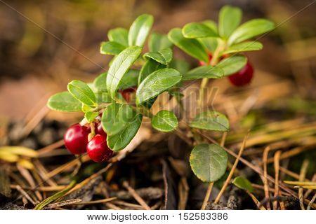 Small Green Bush Of Cranberries