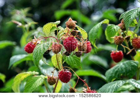 summer in the garden ripe red raspberries on a background of green leaves
