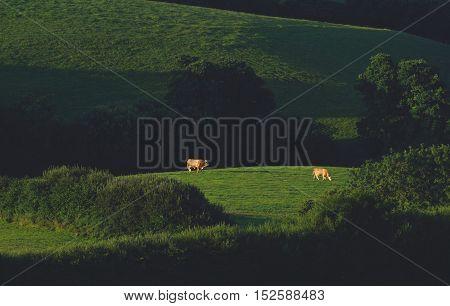 Cows graze on a farmland in Dorset