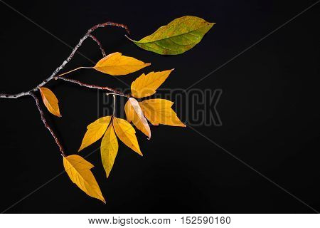 branch with beautiful and colorful autumn leaves on a black background